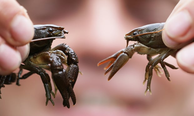 Crayfish behave more boldly after exposure to antidepressants